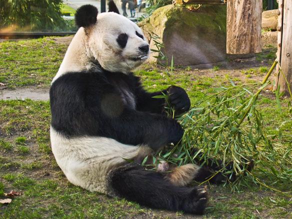 Ein Pandabär beim Fressen