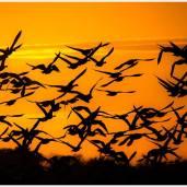 Silhouetten von Gänsen gegen den Abendhimmel