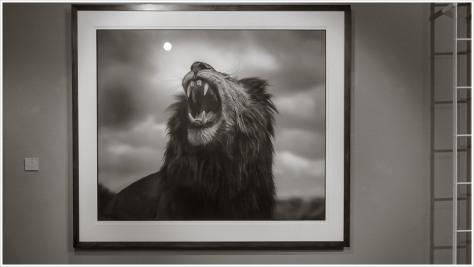 Bild eines brüllenden Löwen