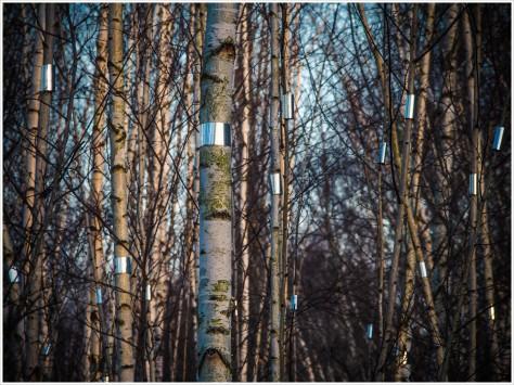 Spiegelfolien an 562 Birken - Foto: h|b Olympus -OM-D E-M5 / 40-150mm / 1/100 / f10 / ISO 400