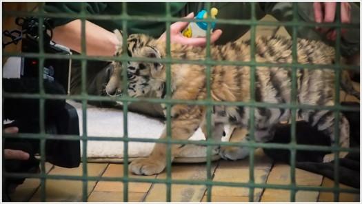 Tigermädchen Alisha ist nicht kamerascheu - Foto: h|b