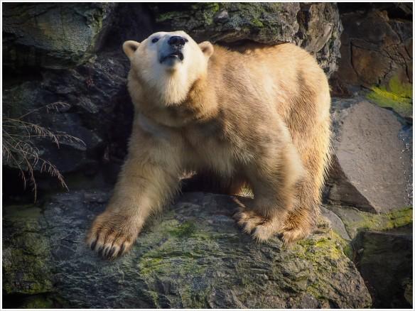 Bergziege, getarnt als Eisbär - Foto: h|b