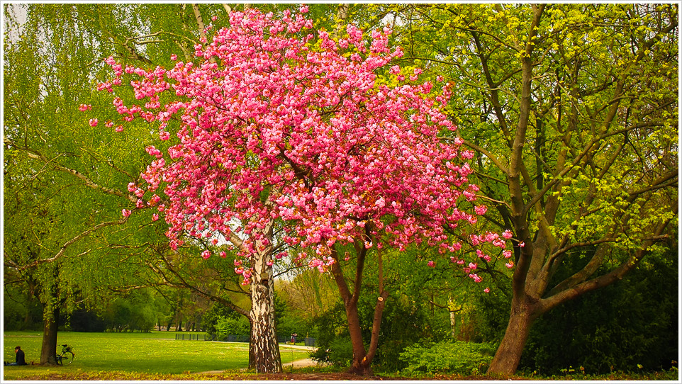 Rot blühender Baum vor grünen Bäumen