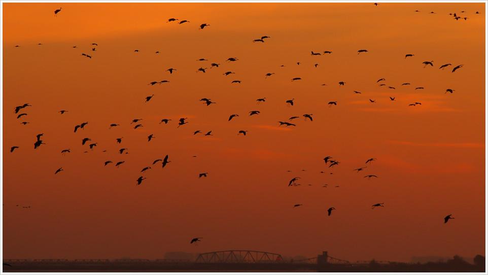 Ein Schwarm Kraniche gegen einen Sonnenuntergangshimmel