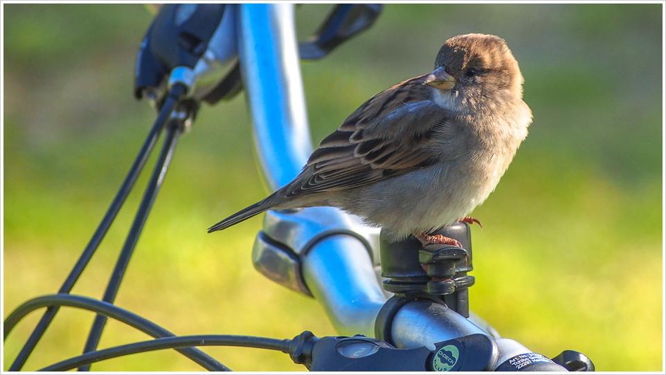 Ein Spatz sitzt auf einer Fahrradklingel