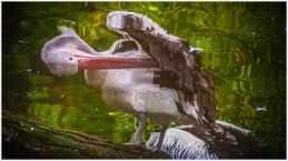 Wasserspiegelung eines Pelikans - Foto: h|b
