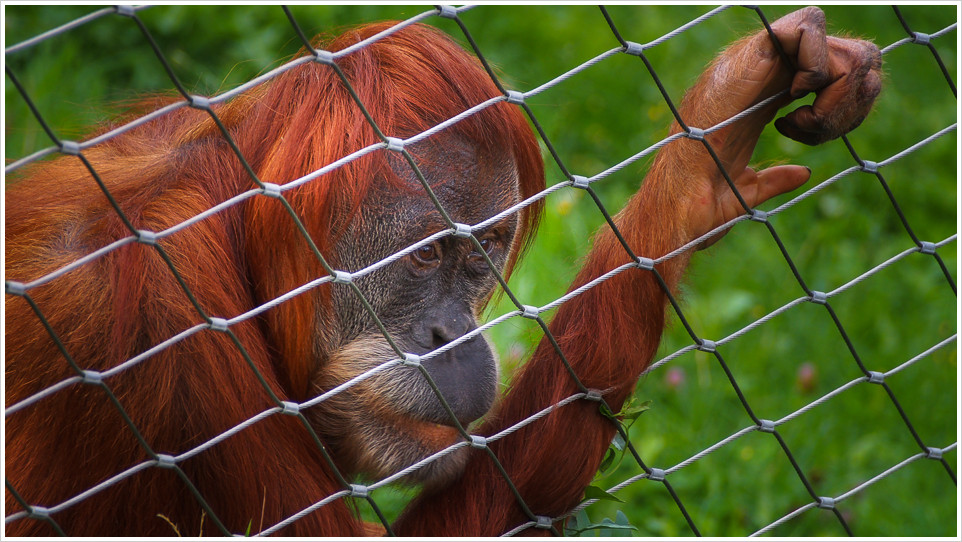 Orang Utan hinter einem Zaun