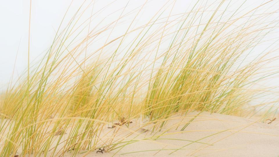 Strandhafer in einer Düne