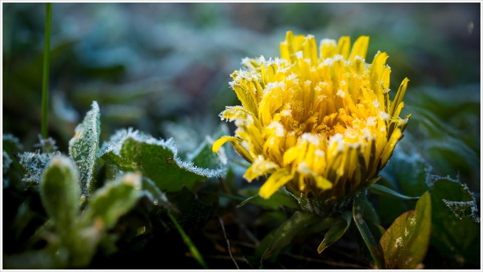 Gelbe Blume mit Eiskristallen