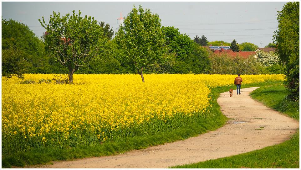 Rapsfeld mit Wanderweg und Spaziergänger mit Hund