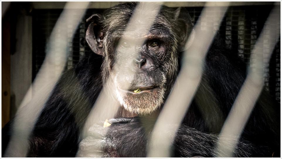Schimpanse hinter verschwommenen Gittern