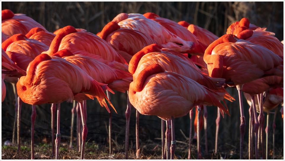 Flamingos aus dem Tierpark Berlin