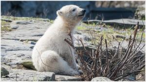 Eisbärenbaby im Tierpark Berlin