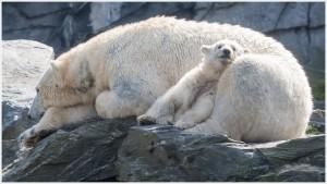 Eisbär Tonja mit Baby