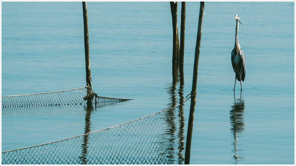 Reiher vor Fischernetzen