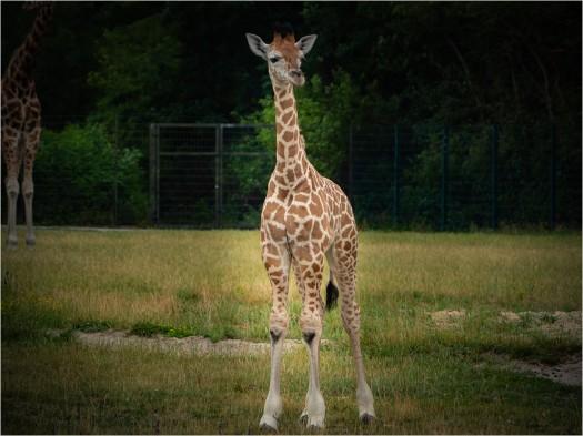Junggiraffe Henri im Tierpark