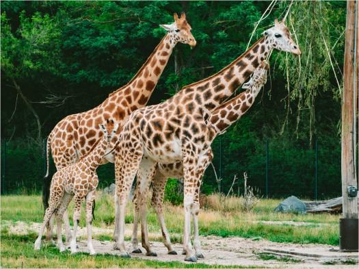 Fütterung der Giraffen im Berliner Tierpark