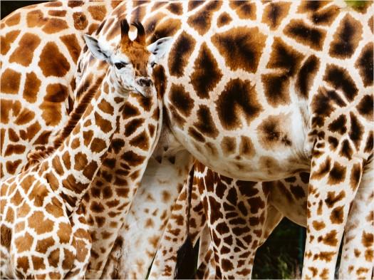 Giraffen im Berliner Tierpark
