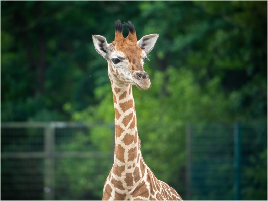 Giraffenjunges als Portrait