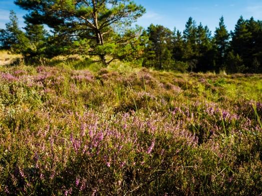 Heide in Dänemark
