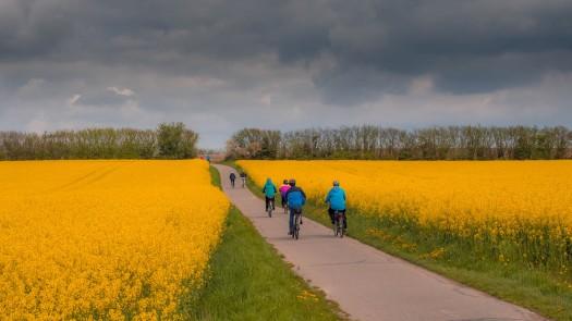 Radfahrer in Rapsfeld