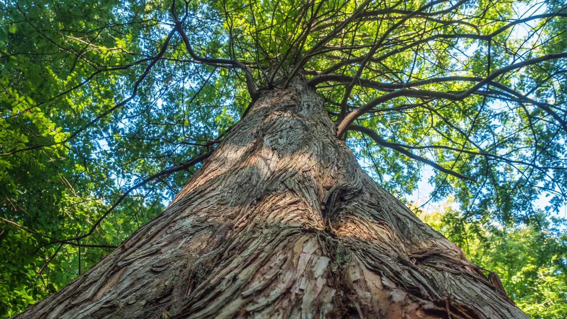 Mammutbaum im Zingster Osterwald