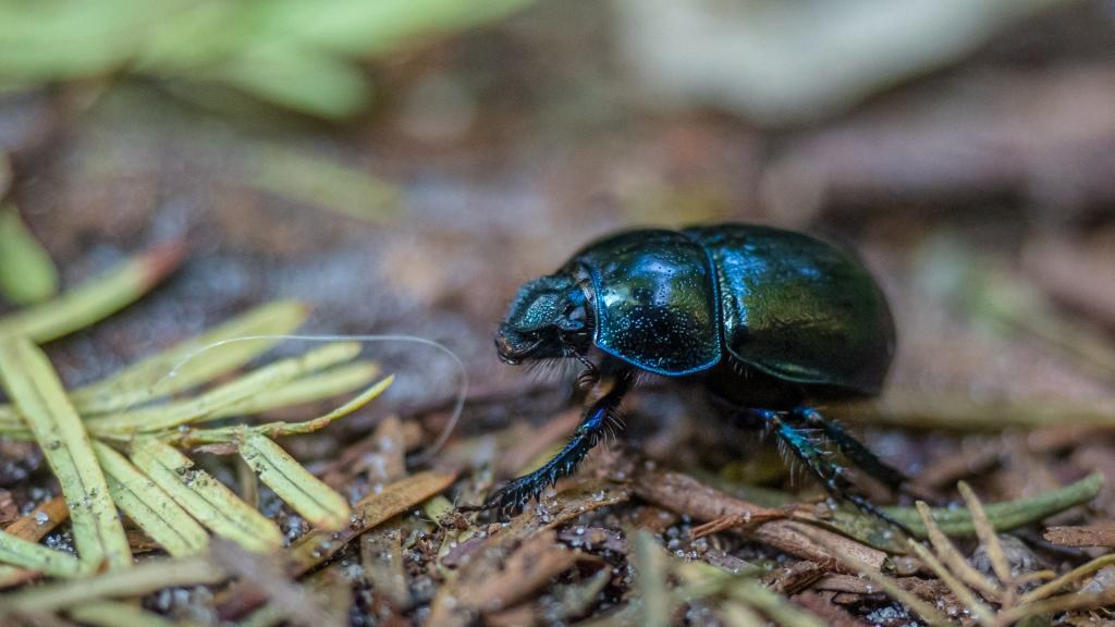 Schwarzer Käfer auf Waldboden
