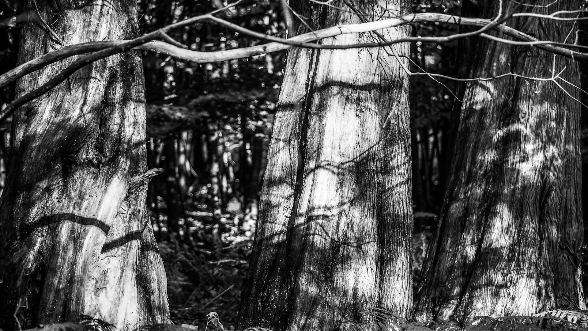 Mammutbäume im Osterwald von Zingst